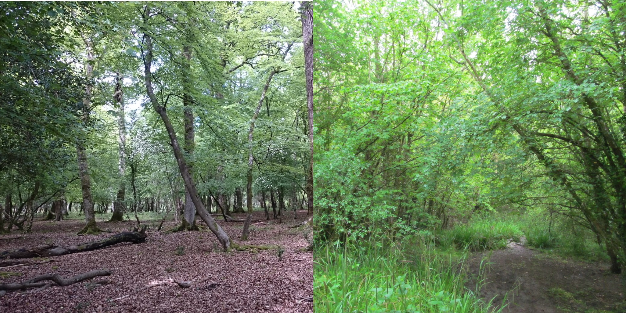 Photo of a beech and ash woodlands to show the difference in leaf litter depth