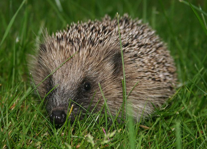 Earthworms are an important food source for hedgehogs