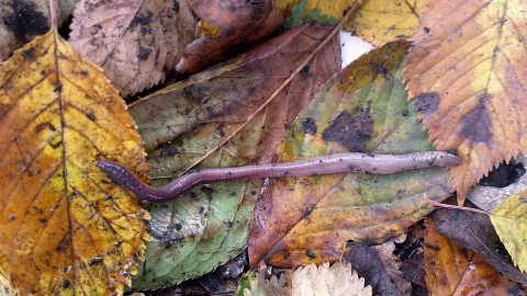 Deep living earthworm Lumbricus terrestris on autumn leaves