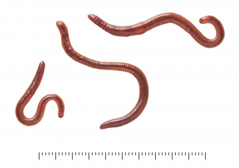 Eisenia fetida.Photographed by Harry Taylor, copyright: The Trustees of the Natural History Museum, London.