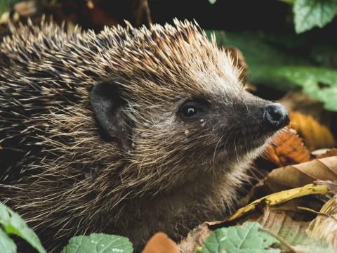 European Hedgehog Erinaceus europaeus © Tadeusz Lakota Unsplash