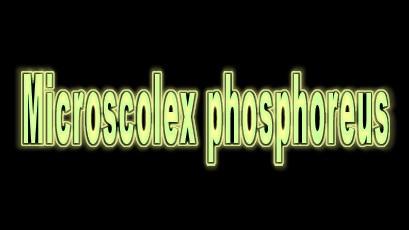 Microscolex phosphoreus